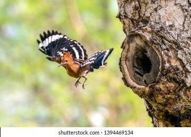 The Eurasian Hoopoe or Common hoopoe (Upupa epops) bird chicks prepares to fly out of the hole-nest