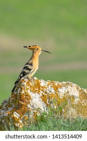 Eurasian Hoopoe or Common Hoopoe (Upupa epops) standing on a rock with green background.. Colorful bird in grassy environment. Georgia
