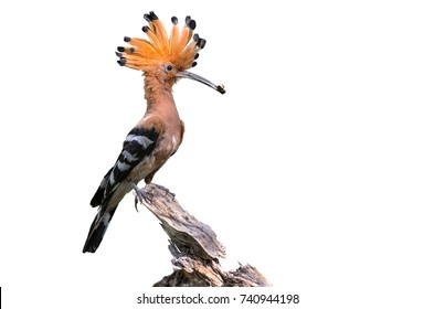 Eurasian Hoopoe or Common Hoopoe or Upupa epops, the beautiful bird isolated perching on branch waiting to feed its chicks with white background and clipping path.