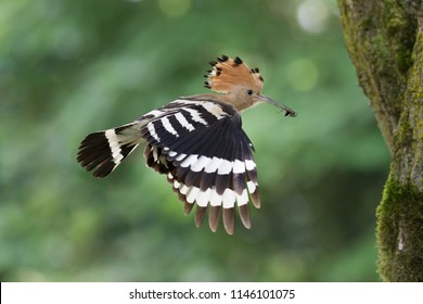 Eurasian hoopoe in flight near the nest (Upupa epops)