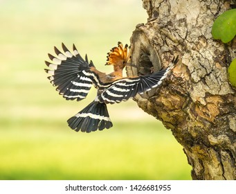 the eurasian hoopoe is the most widespread species of the genus upupa native to europe asia and the northern half of africa. hoopoe loves they stepson until they grows and can fly out of the nest.