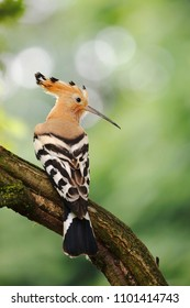 The Eurasian hoopoe (Upupa epops)