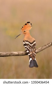 Eurasian Hoopoe or Upupa epops, beautiful brown bird perching on branch.