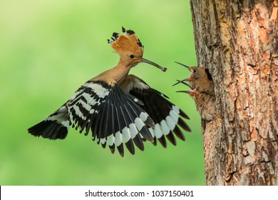 Eurasian Hoopoe (Upupa epops) feeding it's chicks captured in flight.