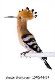 eurasian Hoopoe (Upupa epops) isolated on a white background  in studio shot