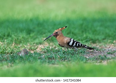 Eurasian Hoopoe (Upupa epops)  on the ground looking for food, Bahrain