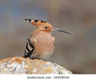 Eurasian Hoopoe (Upupa epops) perching on a rock