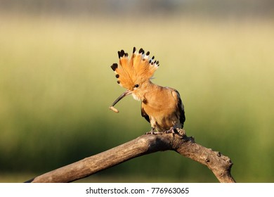 The Eurasian hoopoe (Upupa epops) sitting on the branch with green background. Hoopoe with erect crest.