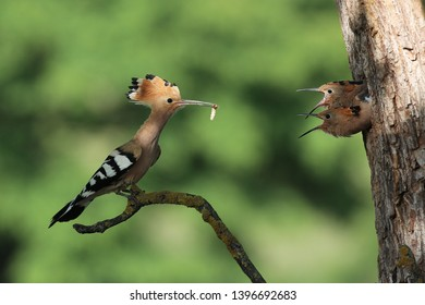 Eurasian Hoopoe (Upupa epops) hoopoe young eagerly waiting for food,hoopoe brought food to the young