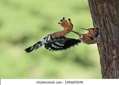 Eurasian Hoopoe (Upupa epops) hoopoe young eagerly waiting for food,hoopoe brought food to the young,hoopoe feeds young