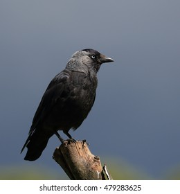 Eurasian Jackdaw, also known as Western Jackdaw or simply Jackdaw, perched against an overcast blue-grey sky