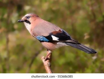 Eurasian jay (Garrulus glandarius). A beautiful very watchful medium sized bird Seated on a pole.