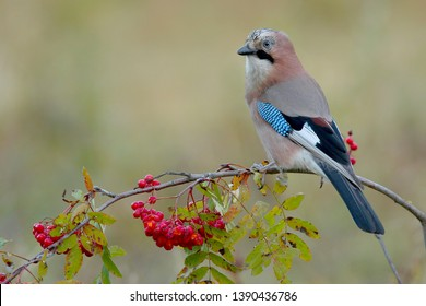 Eurasian jay (Garrulus glandarius)  nicely colored jay sitting on the branches