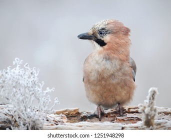 Eurasian jay (Garrulus glandarius) is one of the most colourful members of the crow family and has a widespread distribution. Photo was taken in Ukraine