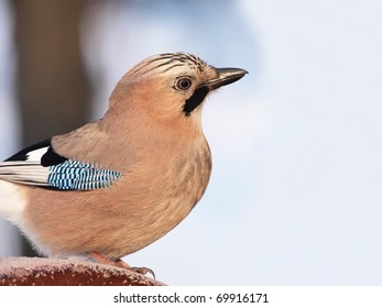 An Eurasian Jay (Garrulus glandarius) perching on a frozen wood.
