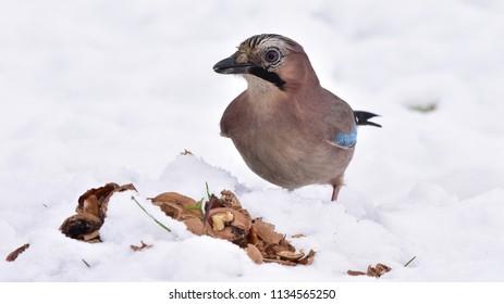 Eurasian jay Garrulus glandarius and winter