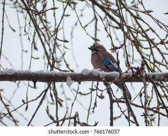 Eurasian jay on the tree. Garrulus glandarius on tree.