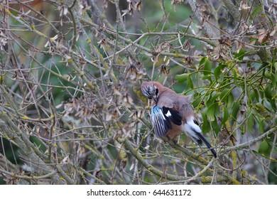 Eurasian jay perched on a branch ,Garrulus glandarius