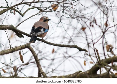 An eurasian Jay is sitting on a branch
