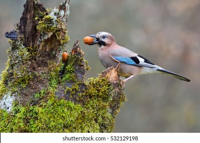 Eurasian jay with a walnut in the beak perched on a log.