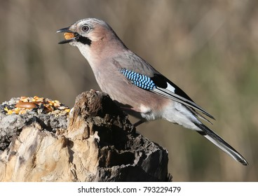 The Eurasian jay with a walnut in beak sits on a vertical log-feeder on a blurred background. The details of the plumage and the distinctive features of the bird are clearly visible.