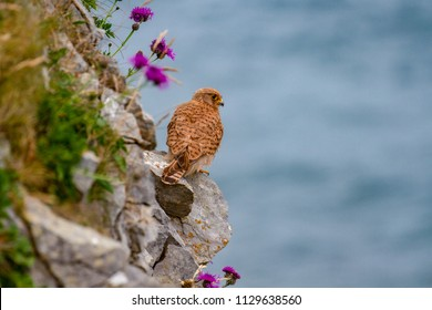 Eurasian Kestrel (Falco tinnunculus) on Pembrokeshire Cliff, Wales, UK