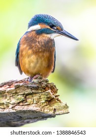 Eurasian kingfisher (Alcedo atthis) looking down for fish. This bird is a widespread small kingfisher with distribution across Europe, Asia and North Africa. It is resident in much of its range.
