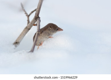 Eurasian least shrew (Sorex minutissimus), also called the lesser pygmy shrew. A small wild animal peeps out of a mink in the snow. Cute face with a long nose. Chukotka, Siberia, Far East of Russia.