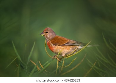Eurasian Linnet, Carduelis cannabina, close up photo of red, colorful male feeding on oilseed rape against blurred dark green background. Czech republic.