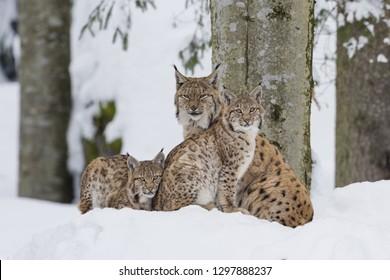Eurasian Lynx , Lynx lynx