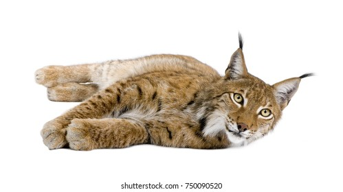 Eurasian Lynx, Lynx lynx, 5 years old, lying in front of white background, studio shot