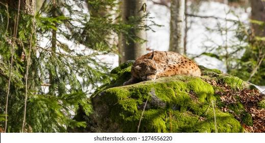 Eurasian Lynx (Lynx Lynx) in the Bavarian Forest National Park (Nationalpark Bayerischer Wald) in Bavaria, Germany. The Lynx was reintroduced to the Bavarian Forest in the 1990s.