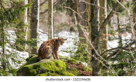 Eurasian Lynx (Lynx Lynx) in the Bavarian Forest National Park (Nationalpark Bayerischer Wald) in Bavaria, Germany. The Lynx was reintroduced to the Bavarian Forest in the 1990s.