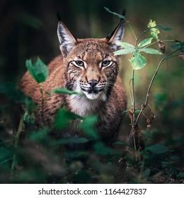 Eurasian lynx between vegetation in forest.