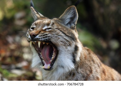 The Eurasian lynx (Lynx lynx) or carpathian lynx, detail of the head with open mouth during yawning