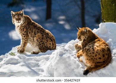 Eurasian lynx couple sitting in the snow.