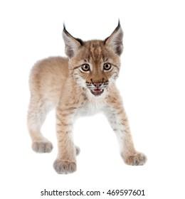 Eurasian Lynx cub on white