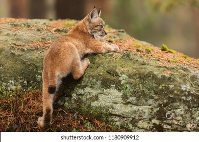 Eurasian lynx (Lynx lynx), cub tries hard to climb a piece of rock