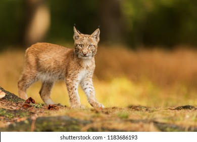 Eurasian lynx (Lynx lynx), cub walking in the forest