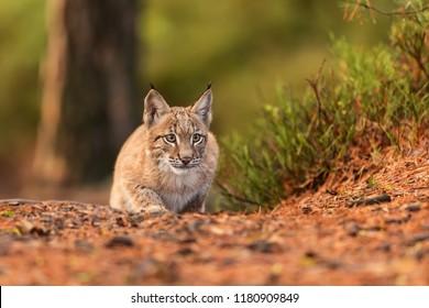 Eurasian lynx (Lynx lynx), Cubs creep running games