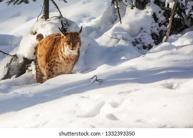 Eurasian lynx (Lynx lynx) at the deep snow