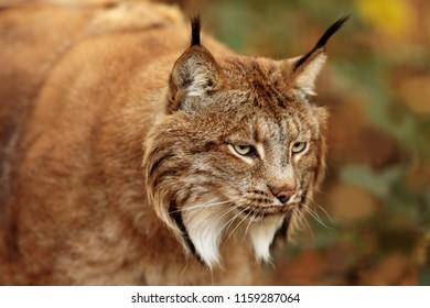 Eurasian lynx (Lynx lynx), in detail