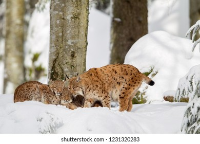 Eurasian lynx (Lynx lynx) family, mother with two kittens, in the snow in the animal enclosure in the Bavarian Forest National Park, Bavaria, Germany.