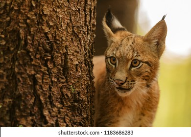 Eurasian lynx (Lynx lynx), a fearful cub carefully pulls his head behind the tree