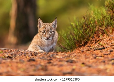 Eurasian lynx (Lynx lynx), in the forest