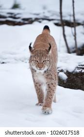 Eurasian lynx, Germany