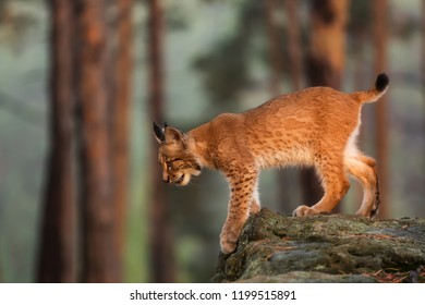 Eurasian lynx (Lynx lynx), go down from the rock