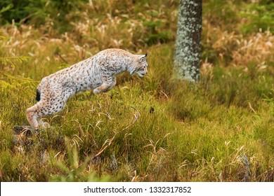 Eurasian lynx (Lynx lynx) he's going to jump on the prey