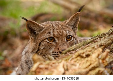 Eurasian lynx. lynx lynx, hidden behind fallen tree peeking out. Endangered wild predator with stealthy look. Animal on a hunt.