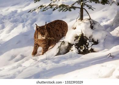 Eurasian lynx (Lynx lynx) is hidden behind tree